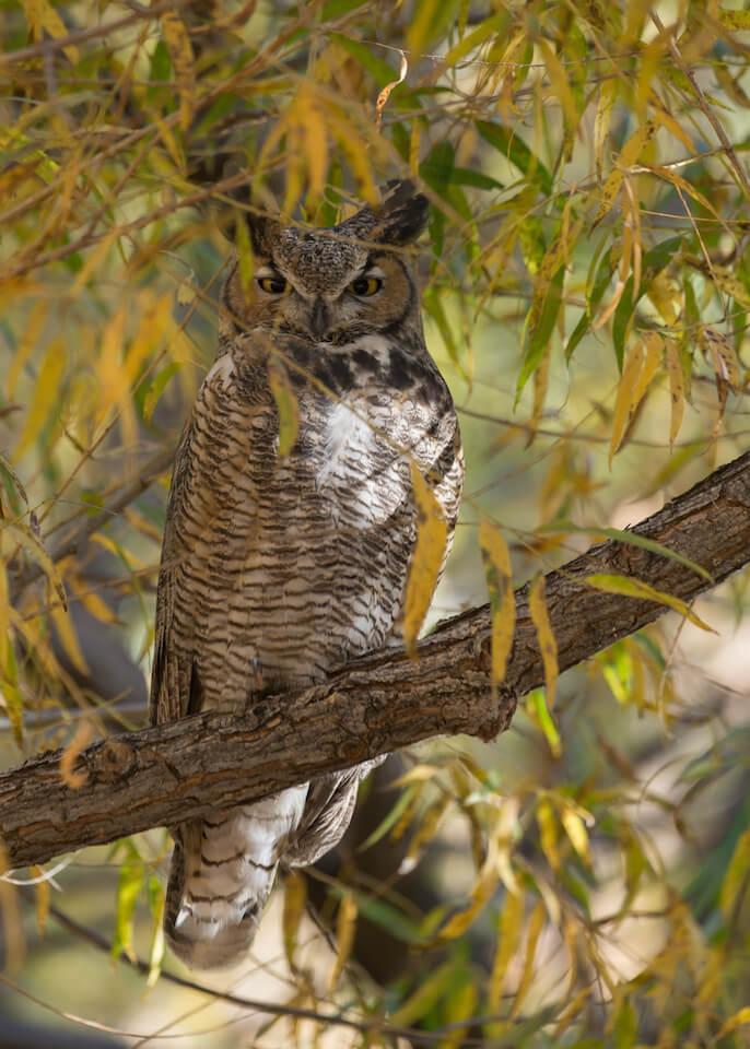 Great horned owl near Hurricane, UT